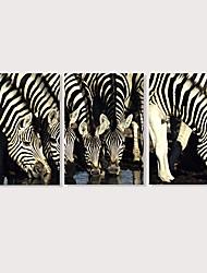 preiswerte -Druck Aufgespannte Leinwandrucke - Tiere Photografisch Modern Drei Paneele
